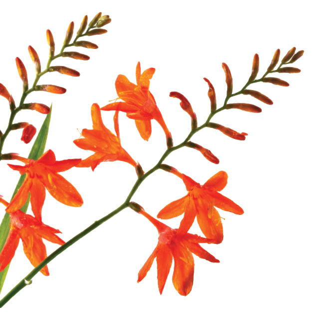 Grace O'Malley Foundation - monbretia flowers